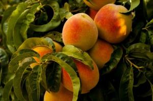 StockSnap_peach