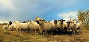 StockSnap_black sheep
