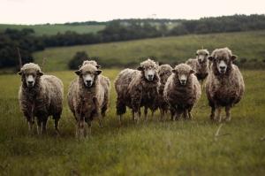 StockSnap_sheep