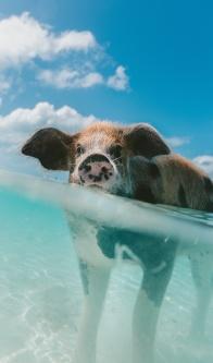 StofelaEnglish - pig